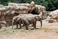 African elephant's couple in natural environment. - PhotoDune Item for Sale