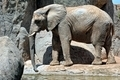 African elephant in natural environment. - PhotoDune Item for Sale
