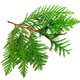 Twig of thuja - PhotoDune Item for Sale