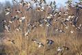 Flock of Eurasian wigeon (Anas penelope) in flight - PhotoDune Item for Sale