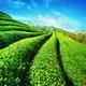 Tea plantation landscape. Chaing Rai province, Thailand - PhotoDune Item for Sale