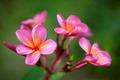 Pink Plumeria - PhotoDune Item for Sale