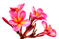 Pink Plumeria Isolated - PhotoDune Item for Sale
