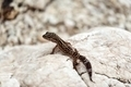Gecko lizard on rocks - PhotoDune Item for Sale