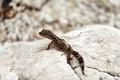 Gecko lizard on rocks - PhotoDune Item for Sale