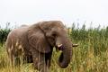 African Elephant in Etosha national Park - PhotoDune Item for Sale