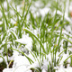snow on a green onions - PhotoDune Item for Sale