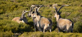 Mountain goat herd in the countryside. Horizontal format - PhotoDune Item for Sale