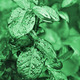 Rose leaves with water drops toned in green - PhotoDune Item for Sale