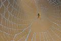 Spider on spiderweb - PhotoDune Item for Sale