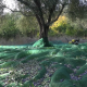 Olive Harvesting - VideoHive Item for Sale