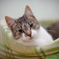 Portrait of the striped with white a cat. - PhotoDune Item for Sale