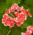 Red and White Geranium - PhotoDune Item for Sale