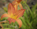 Daylily - PhotoDune Item for Sale