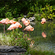 Flamingo Standing in the Pond - VideoHive Item for Sale