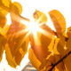 Sun Shining Through Autumn Leaves - VideoHive Item for Sale