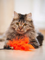 Portrait of a fluffy striped cat. - PhotoDune Item for Sale