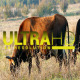 Herd of Cows 3 - VideoHive Item for Sale
