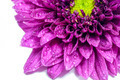 Purple chrysanthemum - PhotoDune Item for Sale