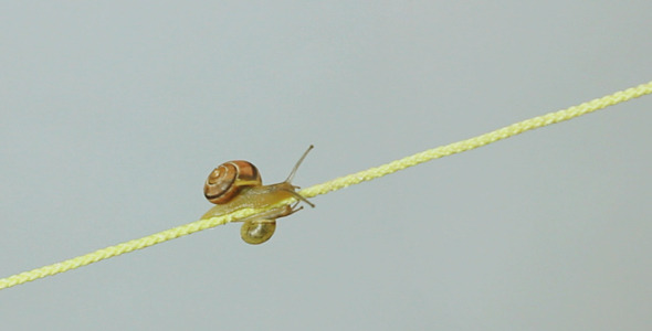 Snails CreepingTogether Along A String
