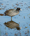 American Coot - PhotoDune Item for Sale