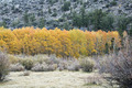 Golden Aspen Trees - PhotoDune Item for Sale