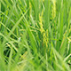 Paddy Field 07 - VideoHive Item for Sale