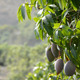 Mango Fruit Hanging at Tree - VideoHive Item for Sale