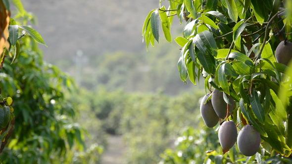 Mango Fruit Hanging at Tree