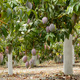 Mango Fruit Hanging at Tree in a Plantation - VideoHive Item for Sale