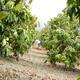 Mango Fruit in Harvest - VideoHive Item for Sale