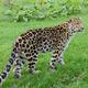 Leopard Looking - PhotoDune Item for Sale