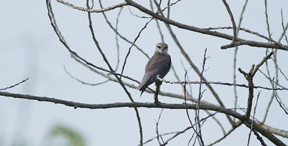 Juvenile Eagle 01