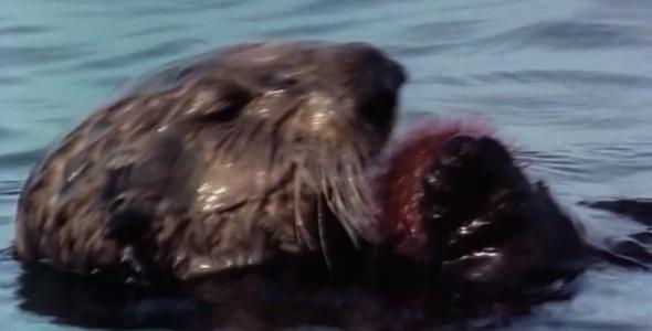 Sea Otter eating a Sea Urchin