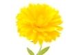 Calendula officinalis - PhotoDune Item for Sale