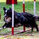 Agility dog with a Shetland Sheepdog - PhotoDune Item for Sale