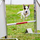 Agility dog with a Jack Russell Terrier - PhotoDune Item for Sale