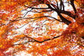 Branches of red acer palmatum in autumn - PhotoDune Item for Sale