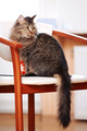 The striped fluffy cat sits on a chair - PhotoDune Item for Sale