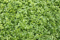 Green plants of leaf parsley - PhotoDune Item for Sale