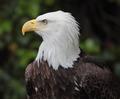 bald eagle - PhotoDune Item for Sale