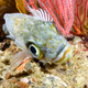 kelp rockfish - PhotoDune Item for Sale