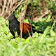 Crow Pheasant (Centropus sinensis) - VideoHive Item for Sale