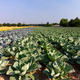 Field with Red and White Cabbage (lat. Brassica oleracea) - PhotoDune Item for Sale
