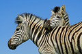 Plains Zebra portrait - PhotoDune Item for Sale