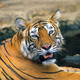Bengal tiger - PhotoDune Item for Sale