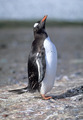 Gentoo penguin - PhotoDune Item for Sale