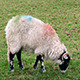 Sheep Grazing Eating Grass - VideoHive Item for Sale