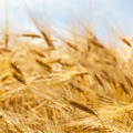 Wheat ears against the blue sky. - PhotoDune Item for Sale