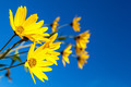 Yellow flowers against the blue sky. Flowering artichoke. - PhotoDune Item for Sale